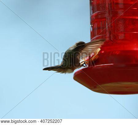 Humming Bird Drinking Nectar From A Red Bird Feeder.