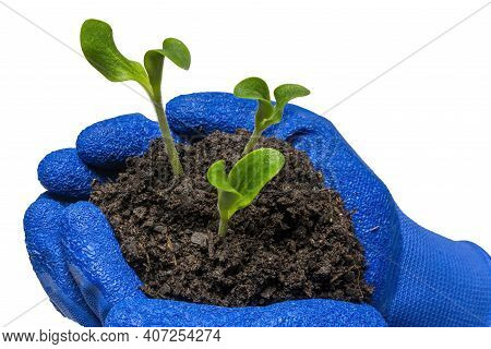 Horizontal Shot Of Of Three Young Zucchini Plants Held In A Gardener's Cupped Hands Isolated On Whit
