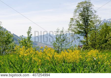Spring In The Mountains. Blooming Mountain Meadow. Yellow Flowers Against The Background Of Mountain