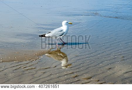 Seagull On Scheveningen Beach In The Hague. This Beach Is The Largest In The Netherlands. In The Pas