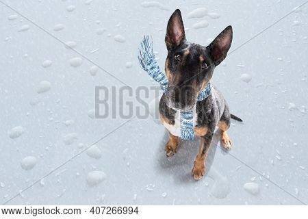 Miniature Bull Terrier Dog In Rain And Snow Bad Weather Ready To Go For A Walk With Leash And Scarf