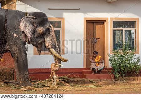 Kerala, India - December 2, 2019: Indian temple elephant eats leaves next to the elephant keeper in Kerala state, South India.