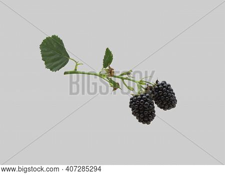 Blackberry Plant Branch With Juicy Black Berries