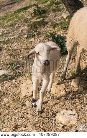 Portrait Of Beautiful Baby Lamb In The Field