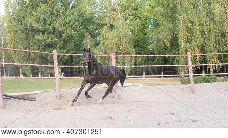 Horse Regular Training Running Circle Arena. Summer Sunny Morning. Beautiful Brown Equine Enjoy Run