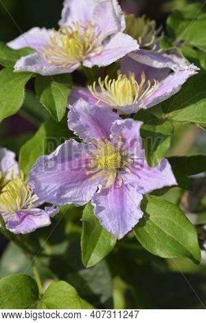 Clematis Piilu (early Large-flowered Clematis) - Latin Name - Clematis Piilu