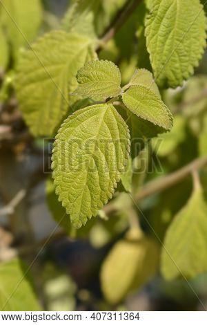 Shrub Verbena Leaves - Latin Name - Lantana Camara