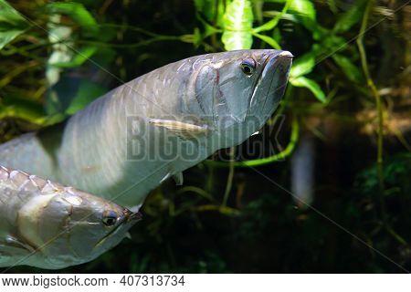 Aravana, Fish, Asian Culture, Symbol Of Wealth, Prosperity, Abundance. Osteoglossum Bicirrhosum. Sof