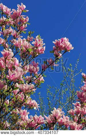 Pink Blossom Of Magnolia Tree In Spring. Flowers On The Branches In Bright Sunlight. Beautiful Natur