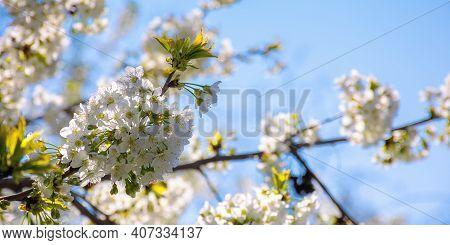 White Apple Blossom In Morning Sunlight. Beautiful Nature Background In Springtime. Tender Flowers O