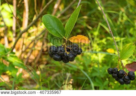 Berries On An Aronia Melanocarpa Also Known As Black Chokeberry, Growing In Friuli-venezia Giulia, N