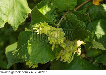 Husks Growing On A Common Hazelnut Tree, Corylus Avellana, In Friuli-venezia Giulia, North East Ital