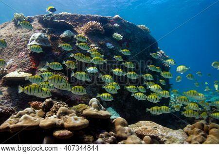 School Of Yellow Convict Tangs Fish (acanthurus Triostegus). Seychelles