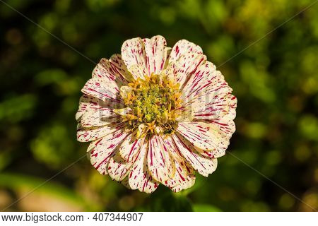 A Pop Art Red And White Zinnia Flower Growing In Friuli-venezia Giulia, North East Italy In July