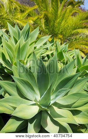 Agave Attenuata cactus plant from Canary Islands in La Palma poster
