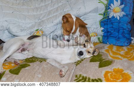 Mature Basenji Dog Lick Clean Paw Of Mixed Breed Dog While Resting A Sofa