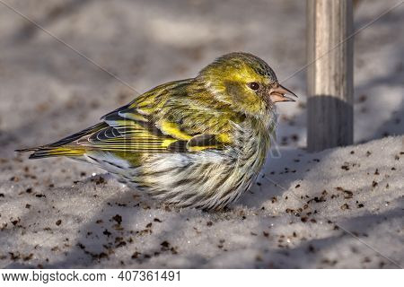 Bird - Eurasian Siskin ( Spinus Spinus ) Female Walks In The Snow Looking For Last Year's Seeds And