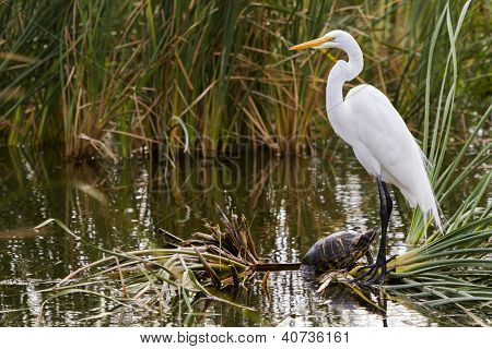 Snowy egret in natural habitat on South Padre Island TX. poster