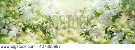 White Blooming Spirea Shrub In Sunny Spring. Seasonal Background Mit Hellem Bokeh And And Short Dept