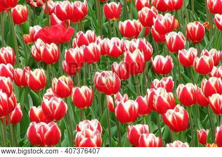 Tulips In A Flowerbed In A City Park. A Flower Bed Of Red With White Tulips. Many Beautiful Summer F
