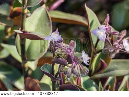 Tradescantia Cerinthoides Or Moss Inch Plant With Flowers In Summer Outdoors