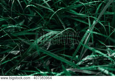 Dark Green Grass And Dew Drops On A Greenery In The Morning Light.