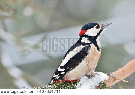 Great Woodpecker Sits On A Branch And Peck In Its Bark, Looking For Food In The Winter