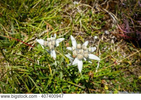 Edelweiss Flowers Close Up View In Vanoise National Park, France