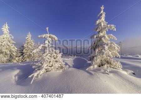 Snowy Spruce Trees In A Winter Landscape