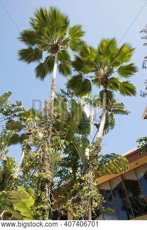 Two Tall Palm Trees Growing Close To The Building Window On Grand Cayman Island (cayman Islands).