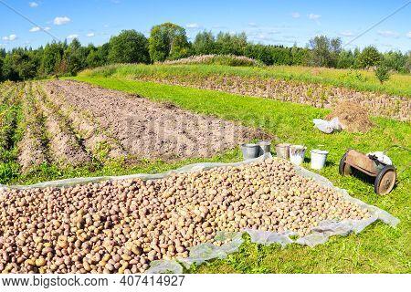 Freshly Dug Organic Potatoes Of New Harvest At The Potatoes Plantation. Potato Harvest On The Field