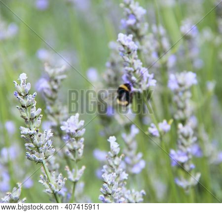 Bumblebee Collecting Nectar On Lavender Flowers In Summer Field. Bumblebee On Flower Of Beautiful La