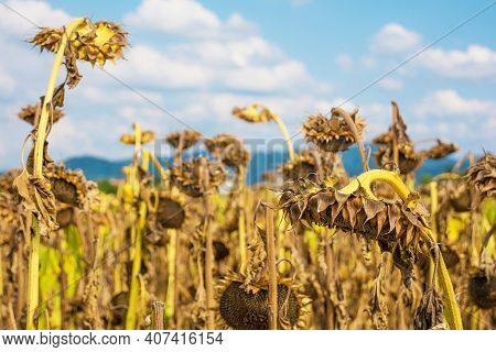 A Field Of Drying Sunflowers In August In Friuli-venezia Giulia, North East Italy