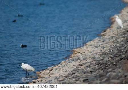 Little Egret Egretta Garzetta In A Lagoon. El Fraile Lagoon. Arona. Tenerife. Canary Islands. Spain.