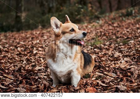 Charming Little English Shepherd Dog. Walking With Dog In Fresh Air In Forest. Pembroke Tricolor Wel
