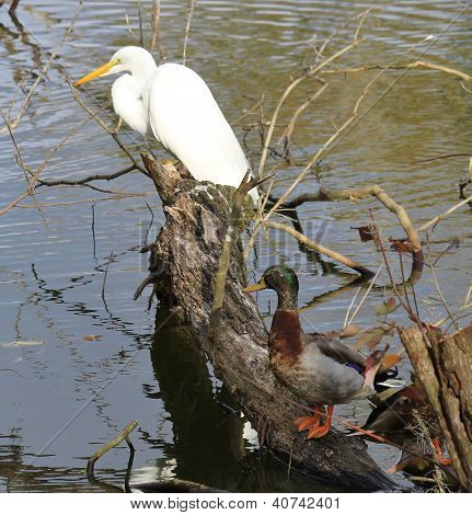 Snowy Egret and Mallard Duck