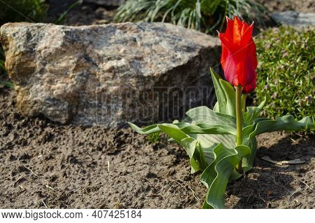 A Bright Red Tulip Flower Is A Passion Flower. The Red Tulip Symbolizes Strong, Selfless, True Love.