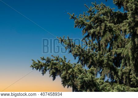 Spruce Tree On Beautiful Sunset Sky Background. Colorful Twilight Sky With Silhouette Of Spruce Tree