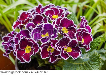 Purple Primrose (primula Vulgaris) First Spring Flower Blossoming. Perennial Primrose Flower In Spri
