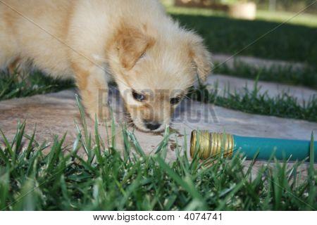 Thirsty Puppy