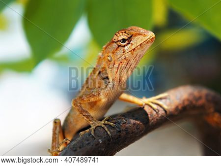 Tropical Oriental Garden Lizard Female Close-up On A Blurred Background With Green Leaves, Eastern G