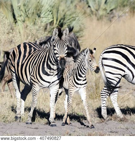 Zebra And  Foal Graze With   Herd In The Savanna. A Female Zebra With A Youngster Poses During A Diu