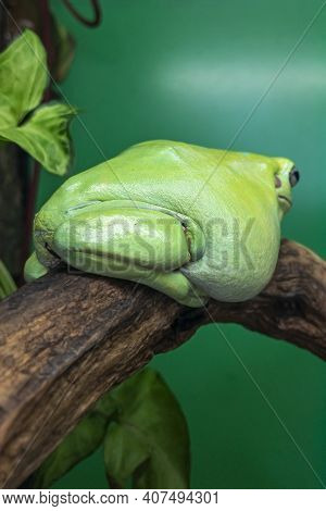 Australian Tree Frogs Or Litoria, Genus Of Tailless Amphibians From Tree Frog Family .