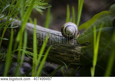 Snail Shell On A Branch Close-up. Tree Branch In Green Grass And Empty Snail Shell, Natural Backgrou