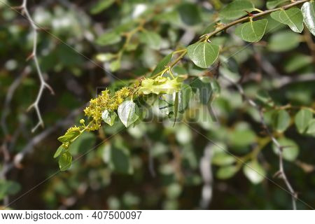 Christs Thorn Branch With Flowers And Fruit - Latin Name - Paliurus Spina-christi