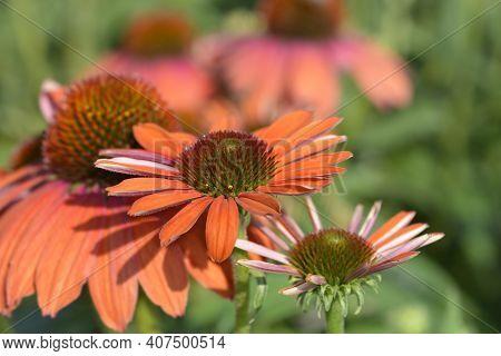 Coneflower Julia Flowers - Latin Name - Echinacea Purpurea Julia