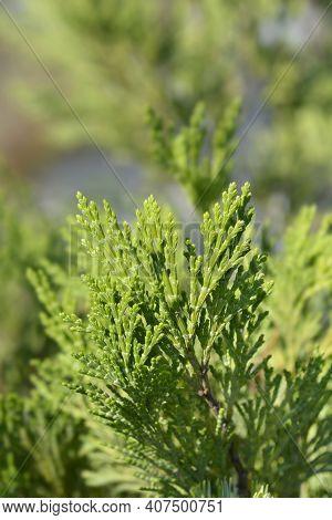 Incense Cedar Pillar - Latin Name - Calocedrus Decurrens Pillar