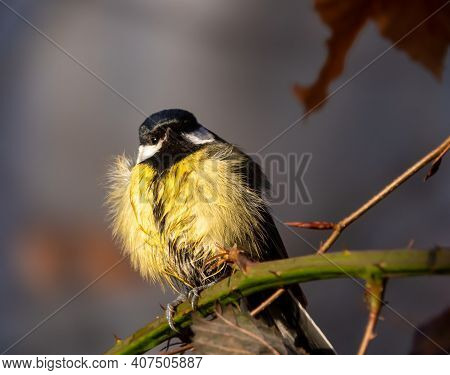 The Great Tit Parus Major Is A Passerine Bird In The Tit Family Paridae