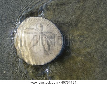 Sand dollar in water