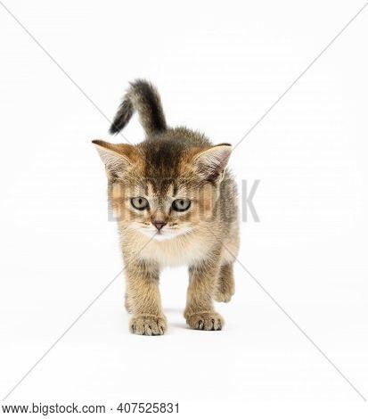 Kitten Golden Ticked Scottish Chinchilla Straigh. Cat Walks On A White Background